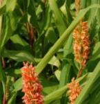 Zieringwer Assam Orange - Hedychium densiflorum