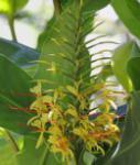 Kahili Ingwer - Hedychium gardnerianum