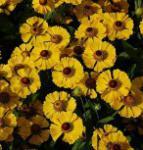 Sonnenbraut Goldrausch - Helenium cultorum