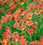 Sonnenbraut Rubinkuppel - Helenium cultorum