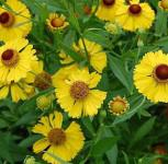 Sonnenbraut Wesergold - Helenium cultorum
