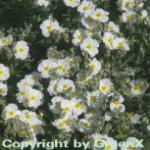 Sonnenröschen Eisbär - Helianthemum