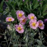 Sonnenröschen Wisley Pink - Helianthemum