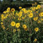 Stauden Sonnenblume Monarch - Helianthus atrorubens