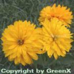 Sonnenauge Goldgrünherz - Heliopsis scabra