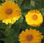 Sonnenauge Sonnenschild - Heliopsis scabra
