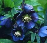 Christrose Lenzrose Metallic Blue - Helleborus orientalis
