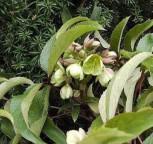Christrose Lenzrose Sterni - Helleborus sternii