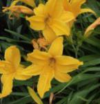 Taglilie Bonanza - Hemerocallis