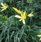 Dufttaglilie Baroni - Hemerocallis citrina