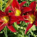 Taglilie King of Hearts - Hemerocallis cultorum