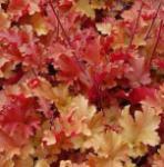 Purpurglöckchen Marmelade - Heuchera villosa