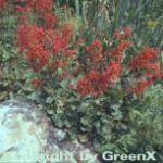 Purpurglöckchen Red Spangles - Heuchera brizoides