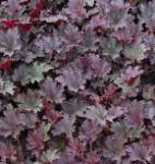 Silberglöckchen Frosted Violet - Heuchera cultorum
