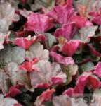 Purpurglöckchen Mocha - Heuchera micrantha