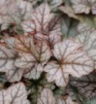 Teppich Purpurglöckchen Quicksilver - Heucherella tiarelloides