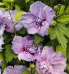 Hochstamm Rosen Eibisch Blue Chiffon 60-80cm - Hibiscus