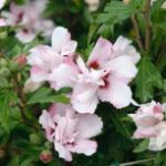 Hochstamm Garteneibisch Lady Stanley 40-60cm - Hibiscus