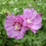 Hochstamm Garteneibisch Lavender Chiffon 60-80cm - Hibiscus