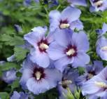 Garteneibisch Ultramarie 60-80cm - Hibiscus