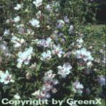 Rosen Eibisch Speciosus 30-40cm - Hibiscus