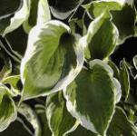 Funkie Ground Master - Hosta cultorum