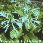 Grünblattfunkie Grandiflora - Hosta plantaginea