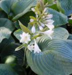 Grünblattfunkie Bressingham Blue - Hosta sieboldiana