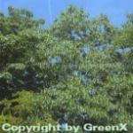 Japanische Rosinenbaum 80-100cm - Hovenia dulcis