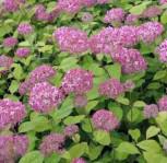 Ballhortensie Pink Percusion 60-80cm - Hydrangea arborescens