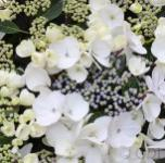 Bauernhortensie Benxi 40-60cm - Hydrangea macrophylla