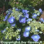 Bauernhortensie Bläuling 40-60cm - Hydrangea macrophylla