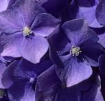 Bauernhortensie Early Blue 40-60cm - Hydrangea macrophylla