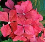 Bauernhortensie Red Beauty 30-40cm - Hydrangea macrophyll