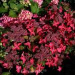Bauernhortensie Selina 40-60cm - Hydrangea macrophylla