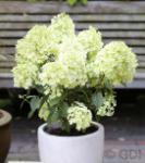 Rispenhortensie Bobo® 25-30cm - Hydrangea paniculata