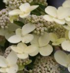 Rispenhortensie Bombshell 30-40cm - Hydrangea paniculata