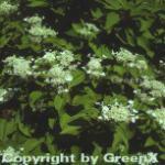 Rispenhortensie Dharuma 60-80cm - Hydrangea paniculata