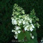 Rispenhortensie Mega Mindy 40-60cm - Hydrangea paniculata