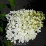 Rispenhortensie Rastede 60-80cm - Hydrangea paniculata