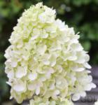 Rispenhortensie Sweet Summer 40-60cm - Hydrangea paniculata