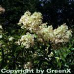 Rispenhortensie Unique 60-80cm - Hydrangea paniculata