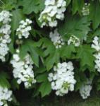 Eichenblättrige Hortensie Black Porch 40-60cm - Hydrangea quercifolia
