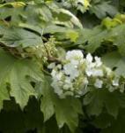 Eichenblättrige Hortensie Sikes Dwarf 60-80cm - Hydrangea quercifolia