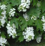 Eichenblättrige Hortensie Snowflake 40-60cm - Hydrangea quercifolia