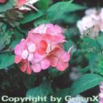 Teller Hortensie Preziosa 40-60cm - Hydrangea serrata