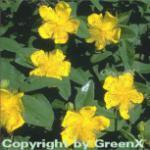 Teppich Johanniskraut - Hypericum calycinum