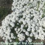 Schleifenblume - Iberis saxatile
