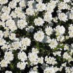 Schleifenblume Alexanders White - Iberis sempervirens