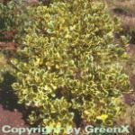 Gelbbunte Stechpalme Ilex Golden King 40-60cm - Ilex altaclerensis